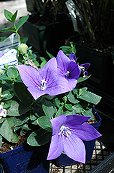 Astra Blue Balloon Flower (Platycodon grandiflorus 'Astra Blue') at Martin's Home and Garden