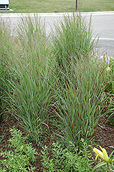 Shenandoah Reed Switch Grass (Panicum virgatum 'Shenandoah') at Martin's Home and Garden
