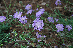 Butterfly Blue Pincushion Flower (Scabiosa 'Butterfly Blue') at Martin's Home & Garden