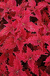 Stained Glass Copper Coleus (Solenostemon scutellarioides 'Stained Glass Copper') at Martin's Home and Garden