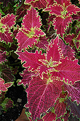 Tiger Lily Coleus (Solenostemon scutellarioides 'Tiger Lily') at Martin's Home & Garden