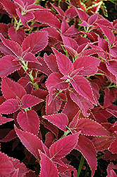 Red Planet Coleus (Solenostemon scutellarioides 'Red Planet') at Martin's Home and Garden