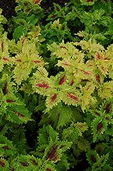 Amazon Coleus (Solenostemon scutellarioides 'Amazon') at Martin's Home and Garden