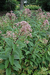 Gateway Joe Pye Weed (Eupatorium maculatum 'Gateway') at Martin's Home & Garden
