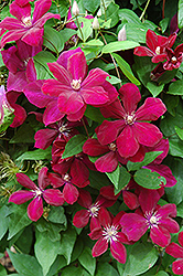 Rouge Cardinal Clematis (Clematis 'Rouge Cardinal') at Martin's Home and Garden