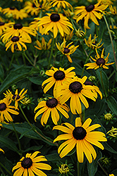 Indian Summer Coneflower (Rudbeckia hirta 'Indian Summer') at Martin's Home and Garden
