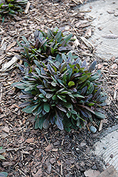 Chocolate Chip Bugleweed (Ajuga reptans 'Chocolate Chip') at Martin's Home & Garden