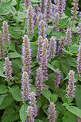Blue Fortune Anise Hyssop (Agastache 'Blue Fortune') at Martin's Home and Garden