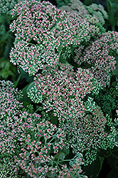 Autumn Joy Stonecrop (Sedum 'Autumn Joy') at Martin's Home & Garden