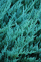 Blue Chip Juniper (Juniperus horizontalis 'Blue Chip') at Martin's Home & Garden