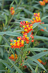 Red Butterfly Milkweed (Asclepias curassavica 'Red Butterfly') at Martin's Home & Garden