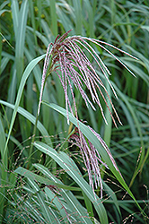 Maiden Grass (Miscanthus sinensis) at Martin's Home & Garden