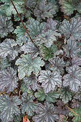 Frosted Violet Coral Bells (Heuchera 'Frosted Violet') at Martin's Home & Garden