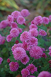 Small Wonder Chrysanthemum (Chrysanthemum 'Small Wonder') at Martin's Home and Garden