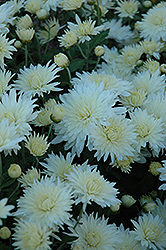 Bristol White Chrysanthemum (Chrysanthemum 'Bristol White') at Martin's Home & Garden