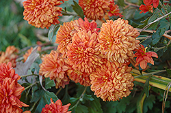 Burnt Copper Chrysanthemum (Chrysanthemum 'Burnt Copper') at Martin's Home and Garden