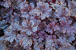 Plum Pudding Coral Bells (Heuchera 'Plum Pudding') at Martin's Home & Garden