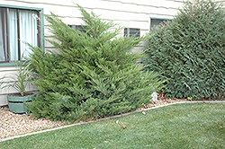 Mint Julep Juniper (Juniperus chinensis 'Mint Julep') at Martin's Home and Garden
