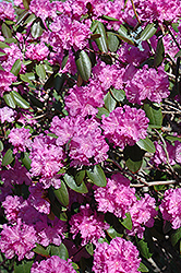 P.J.M. Rhododendron (Rhododendron 'P.J.M.') at Martin's Home and Garden