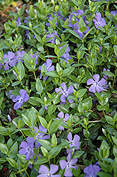 Dart's Blue Periwinkle (Vinca minor 'Dart's Blue') at Martin's Home and Garden