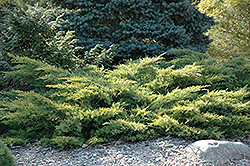Gold Star Juniper (Juniperus chinensis 'Bakaurea') at Martin's Home and Garden