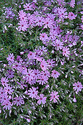Fort Hill Moss Phlox (Phlox subulata 'Fort Hill') at Martin's Home and Garden