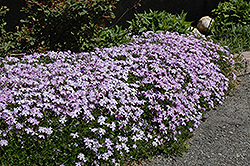 Emerald Blue Moss Phlox (Phlox subulata 'Emerald Blue') at Martin's Home and Garden