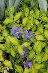 Illumination Periwinkle (Vinca minor 'Illumination') at Martin's Home and Garden