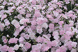 Mountain Mist Pinks (Dianthus gratianopolitanus 'Mountain Mist') at Martin's Home & Garden