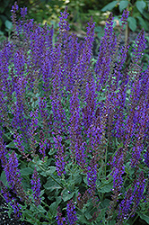 May Night Sage (Salvia x sylvestris 'May Night') at Martin's Home and Garden