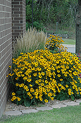 Goldsturm Coneflower (Rudbeckia fulgida 'Goldsturm') at Martin's Home & Garden