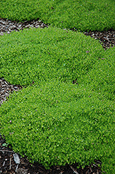 Irish Moss (Sagina subulata) at Martin's Home & Garden