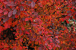 Rose Glow Japanese Barberry (Berberis thunbergii 'Rose Glow') at Martin's Home & Garden
