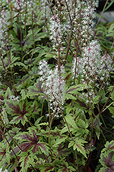 Sugar And Spice Foamflower (Tiarella 'Sugar And Spice') at Martin's Home & Garden