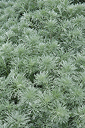 Silver Mound Artemesia (Artemisia schmidtiana 'Silver Mound') at Martin's Home and Garden