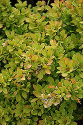 Sunsation Japanese Barberry (Berberis thunbergii 'Sunsation') at Martin's Home & Garden