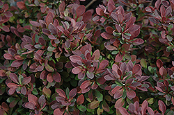 Royal Burgundy Japanese Barberry (Berberis thunbergii 'Gentry') at Martin's Home & Garden