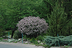 Dwarf Korean Lilac (tree form) (Syringa meyeri 'Palibin (tree form)') at Martin's Home & Garden