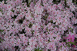 Candy Stripe Moss Phlox (Phlox subulata 'Candy Stripe') at Martin's Home and Garden