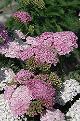 Apple Blossom Yarrow (Achillea millefolium 'Apple Blossom') at Martin's Home & Garden