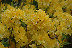 Lemon Lights Azalea (Rhododendron 'Lemon Lights') at Martin's Home & Garden