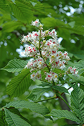 Horse Chestnut (Aesculus hippocastanum) at Martin's Home and Garden