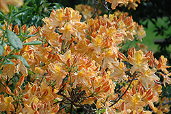 Golden Lights Azalea (Rhododendron 'Golden Lights') at Martin's Home & Garden