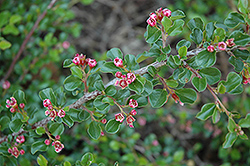 Tom Thumb Cotoneaster (Cotoneaster apiculatus 'Tom Thumb') at Martin's Home & Garden