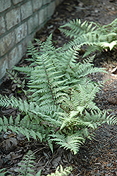 Ghost Fern (Athyrium 'Ghost') at Martin's Home and Garden