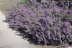 Walker's Low Catmint (Nepeta x faassenii 'Walker's Low') at Martin's Home and Garden