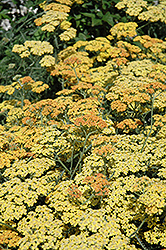 Terra Cotta Yarrow (Achillea 'Terra Cotta') at Martin's Home and Garden