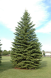 Colorado Spruce (Picea pungens) at Martin's Home & Garden