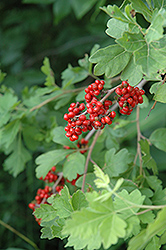 Fragrant Sumac (Rhus aromatica) at Martin's Home & Garden