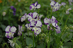 Columbine Pansy (Viola 'Columbine') at Martin's Home and Garden